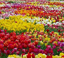 the world's most beautiful tulip garden by supergold