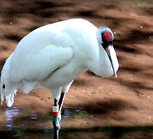 Whooping Crane by AuntDot