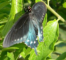 Pipevine Swallowtail Spectator by Navigator
