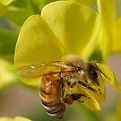 HONEY BEE DIVING FOR NECTAR by Betsy  Seeton