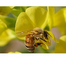 HONEY BEE DIVING FOR NECTAR Photographic Print
