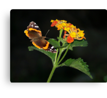 Red Admiral Butterfly & Texas Lantana Canvas Print