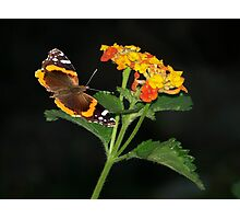 Red Admiral Butterfly & Texas Lantana Photographic Print