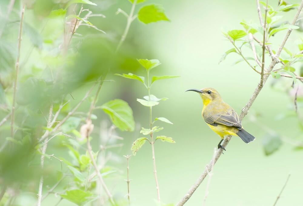 Bird in the bush - honey eater  by Jenny Dean