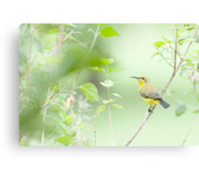 Bird in the bush - honey eater  Canvas Print