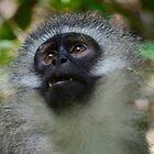 Vervet monkey looks up by Jessica Henderson