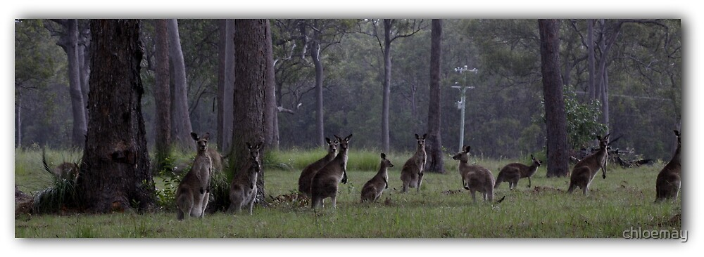 Kangaroos in the wild by chloemay