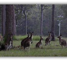 Kangaroos in the wild by chloemay