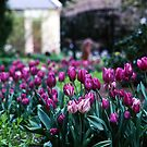 TulipsBotanical Gardens, Hobart by Brett Rogers