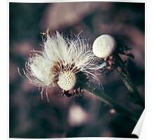Coltsfoot Seeds Poster
