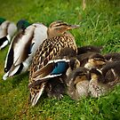 Duck family in the rain by Esther  Moliné