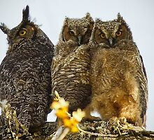 Great Horned Owl Fledglings by Chuck Gardner