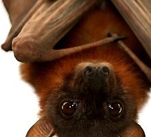 Little Red Flying Fox Hanging Out  by SerenaB