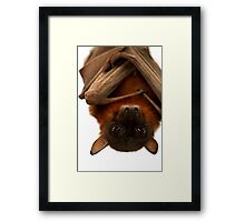 Little Red Flying Fox Hanging Out  Framed Print