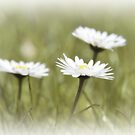 Daisies by PhotoTamara