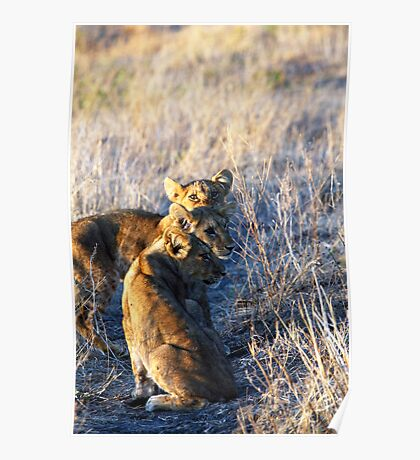 Three Lion cubs  Poster