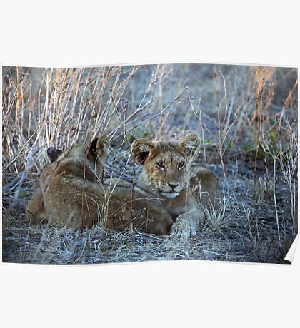 Two Lion cubs at Dawn Poster