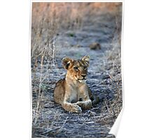 Single Lion cub at Dawn Poster