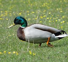 Do I Look Like A Sitting Duck? by Barrie Woodward
