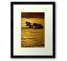 Sitting Cows near Sunset Framed Print