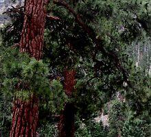 Pine Tree in Spring by marilyn diaz