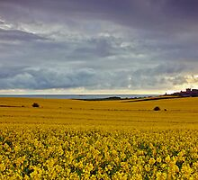 Rape Seed field at Bamburgh by Martin Lawrence