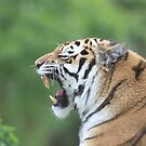 Tiger Yawning by photobymdavey