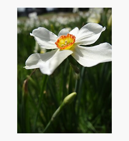 A nice Narcissis Photographic Print