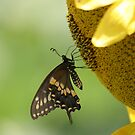 Sunflower Butterfly by mikepemberton