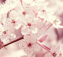 Pink Dogwood Blossoms by Shannon Ferguson