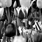 Black and White Tulips by Robin Black