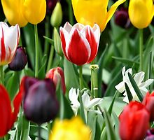 Tulips by Robin Lee