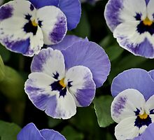 Pansies by Robin Lee