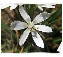 Star of Bethlehem Flower Poster