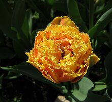 Glowing Golden Tulip by MidnightMelody