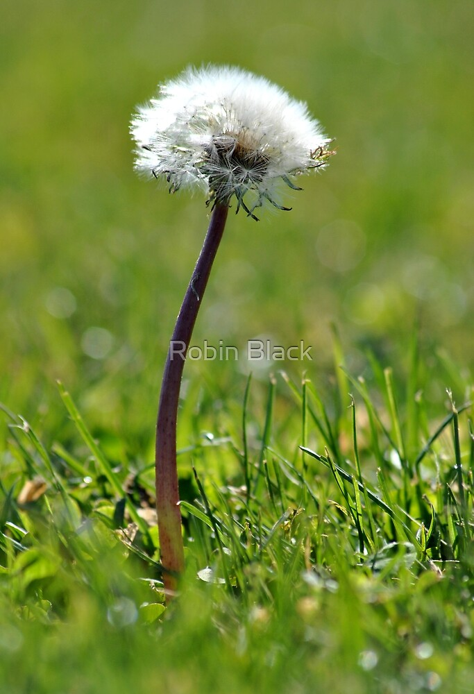 Dandelions by Robin Lee