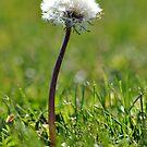 Dandelions by Robin Lee