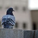 Pigeon by Robin Lee