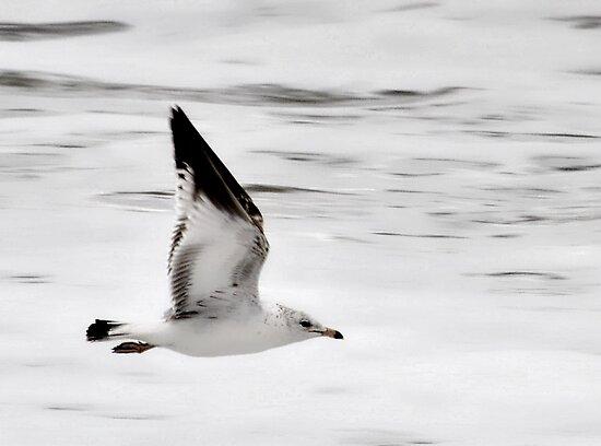 Gull in Flight by Robin Lee