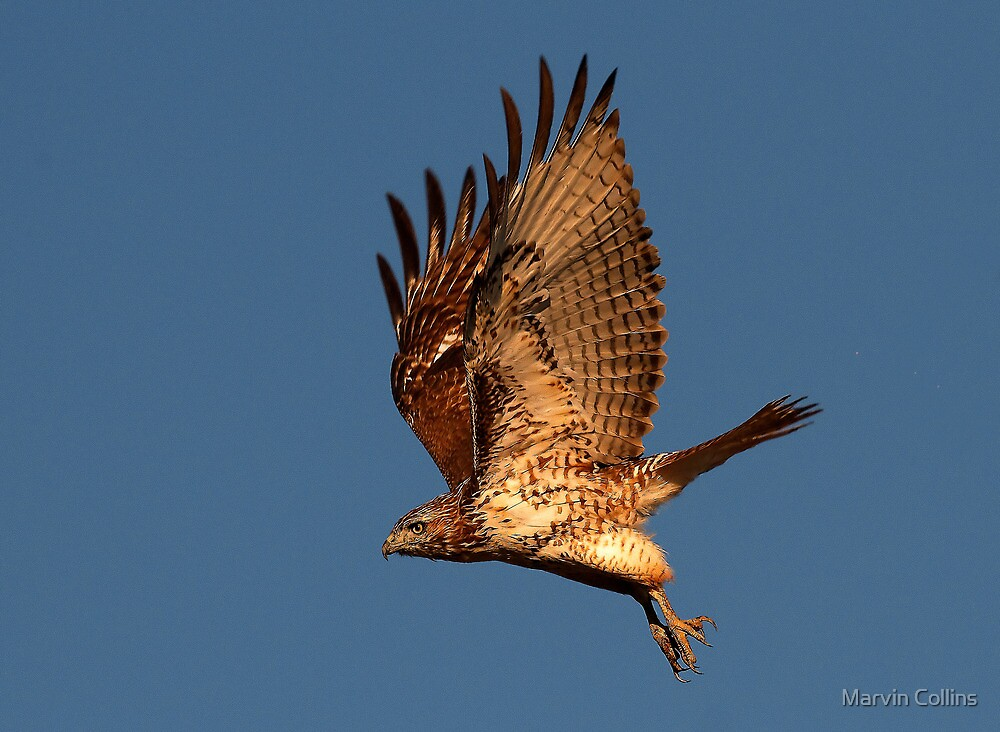 1008111 Red Tailed Hawk  by Marvin Collins