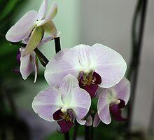 White violet orchid by Rossen Stanoev