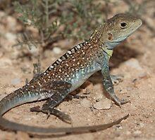 Ctenophorus pictus_Yunta Area_SA by tiliqua