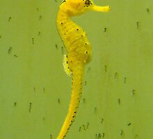 Seahorse, Hippocampus, with Babies by Julia Harwood