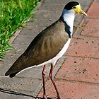 Mr Plover by peasticks