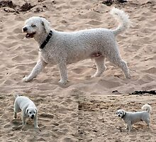 A Fluffy Coated White Dog at the Sandy Beach Collage by alycanon