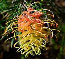 Sunkissed Waters Grevillea by peasticks