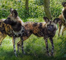 Lycaon pictus (painted dog) by larry flewers