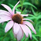 Echinacea Glow by Astrid Ewing Photography