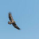 Juvenile American Bald Eagle 2015-5 by Thomas Young
