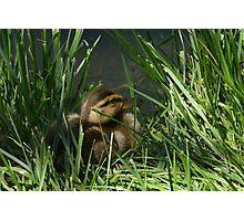 Mallard Duck Duckling Photographic Print
